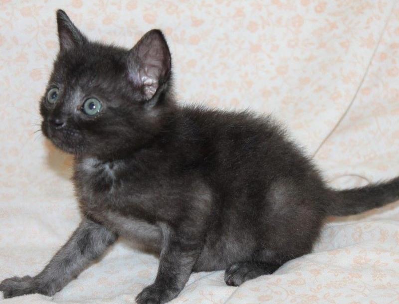 Muffin, magnifique chaton noir, né le 09/07/2016 14101710