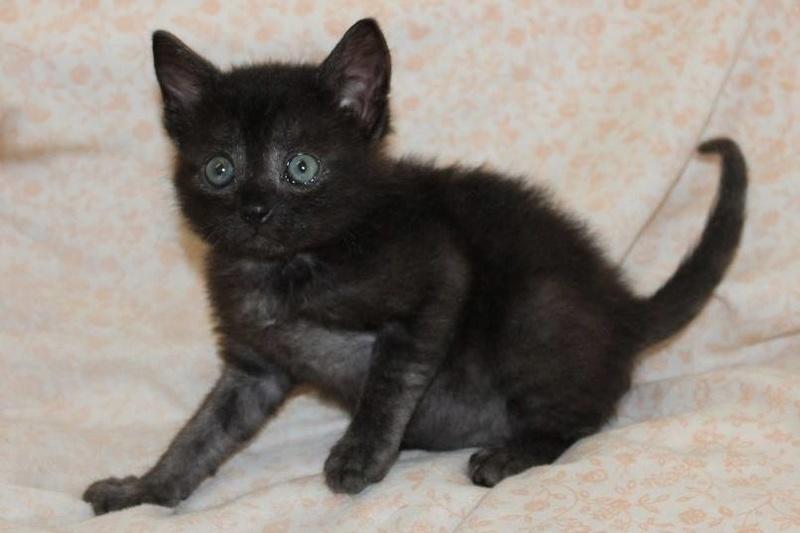 Muffin, magnifique chaton noir, né le 09/07/2016 14138410