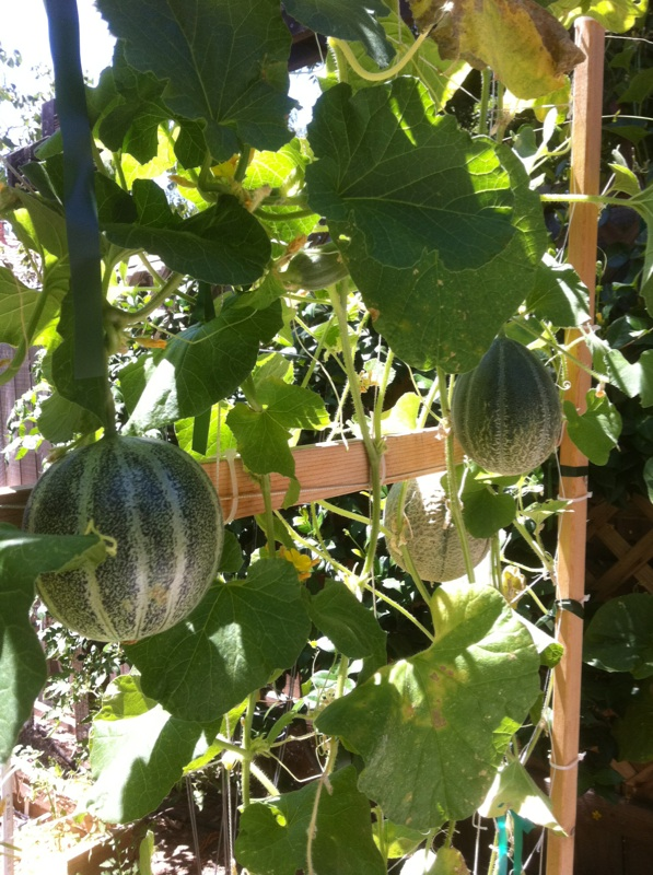 Slings for cantaloupes? Cantel11