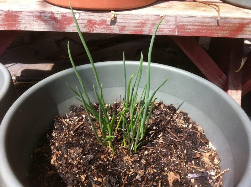 What varieties of garlic and onions do you like to grow? - Page 2 Onion_11