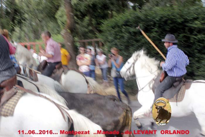 ...11..06..2016...Montpezat Bandide et Enciero Manade Du Levant _mg_0012