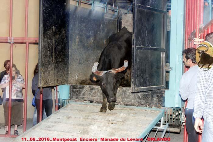 ...11..06..2016...Montpezat Bandide et Enciero Manade Du Levant _mg_0014