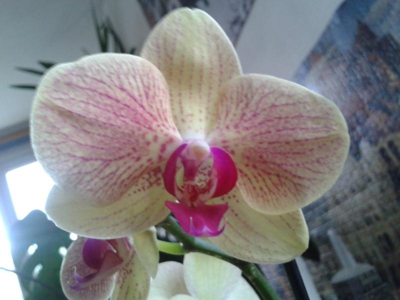 Phalaenopsis hybride 2016-026