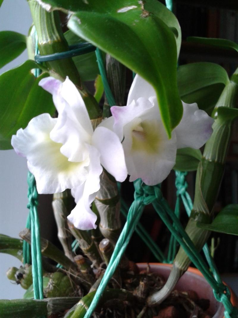 Dendrobium nobile blanc 2016-032