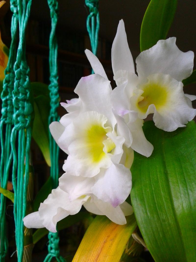Dendrobium nobile blanc 2016-034