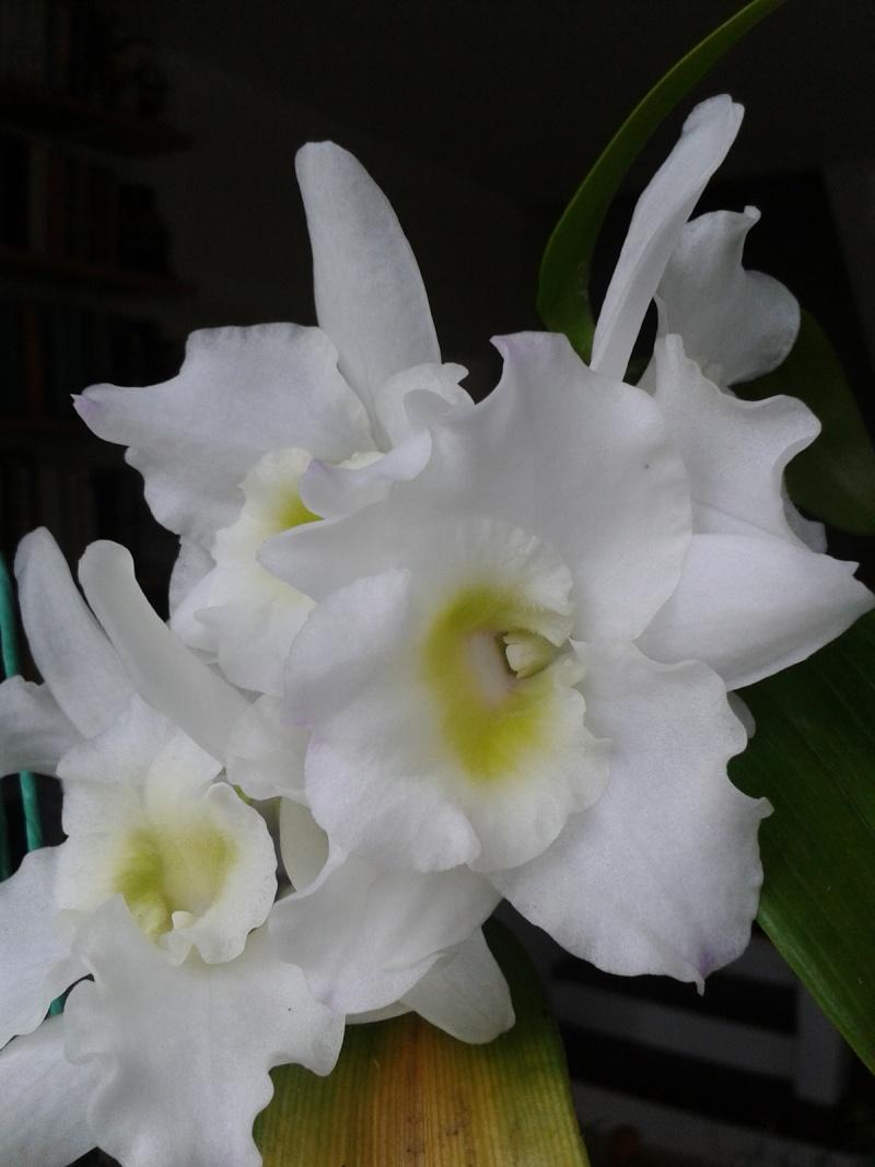 Dendrobium nobile blanc 2016-037