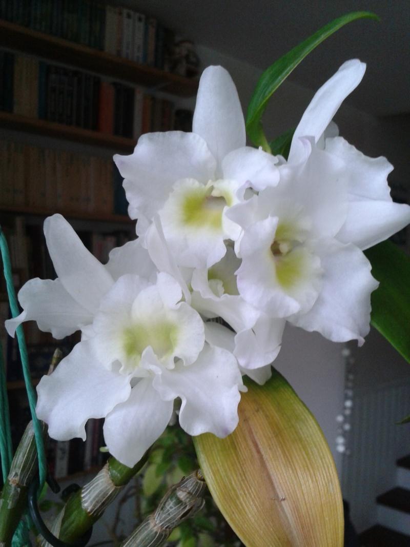 Dendrobium nobile blanc 2016-039