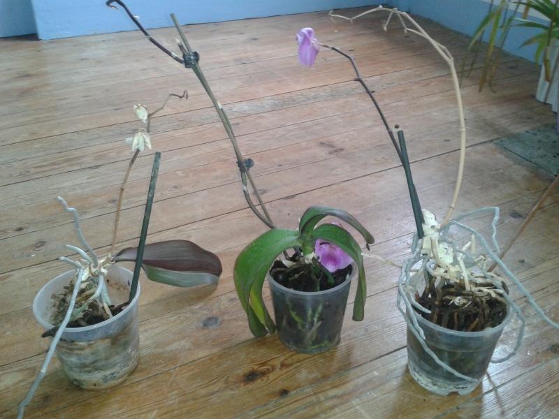 Sauvetage phalaenopsis Orchid10