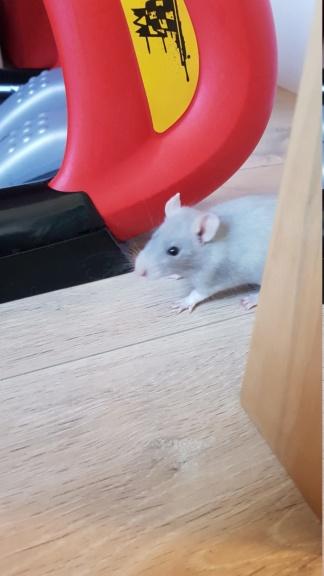 Adoption de mes 2 nouveaux rats 20210310