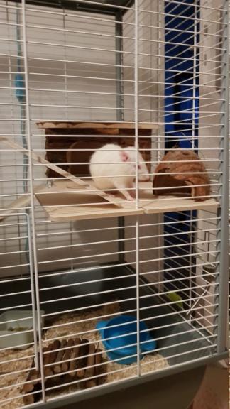 Adoption de mes 2 nouveaux rats 20210311