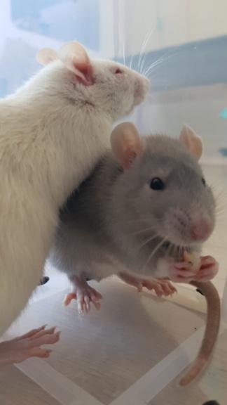 Adoption de mes 2 nouveaux rats 20210314
