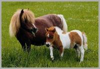 Balade à poney Shetland le 06/08/2016 Poney_41