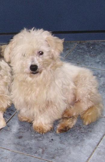 ERA, jolie Coton de Tuléar de 8 ans, réformée d'élevage Diff10
