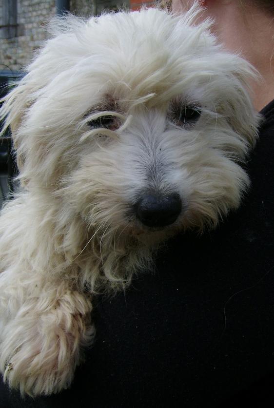 ERA, jolie Coton de Tuléar de 8 ans, réformée d'élevage Ssa56513