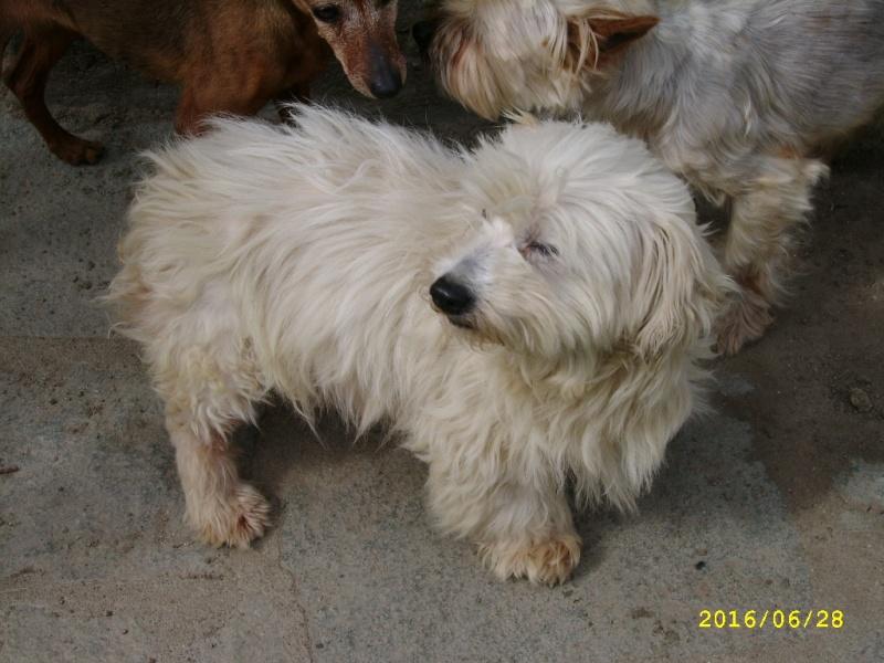 ERA, jolie Coton de Tuléar de 8 ans, réformée d'élevage Ssa56514
