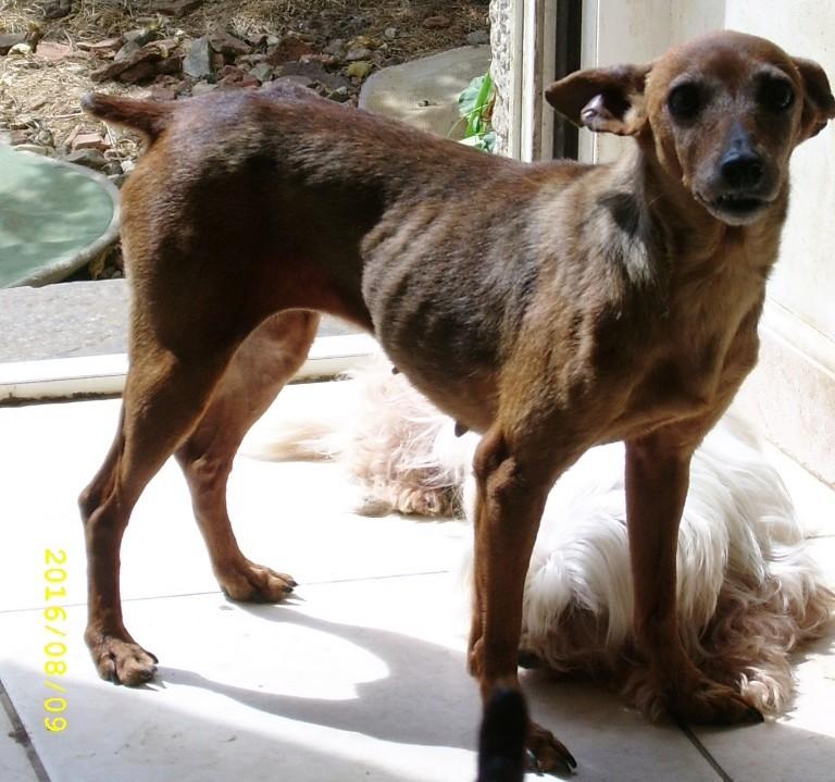 ELEA, gentille pinscher fauve de 7 ans, réformée d'élevage Ssa56615