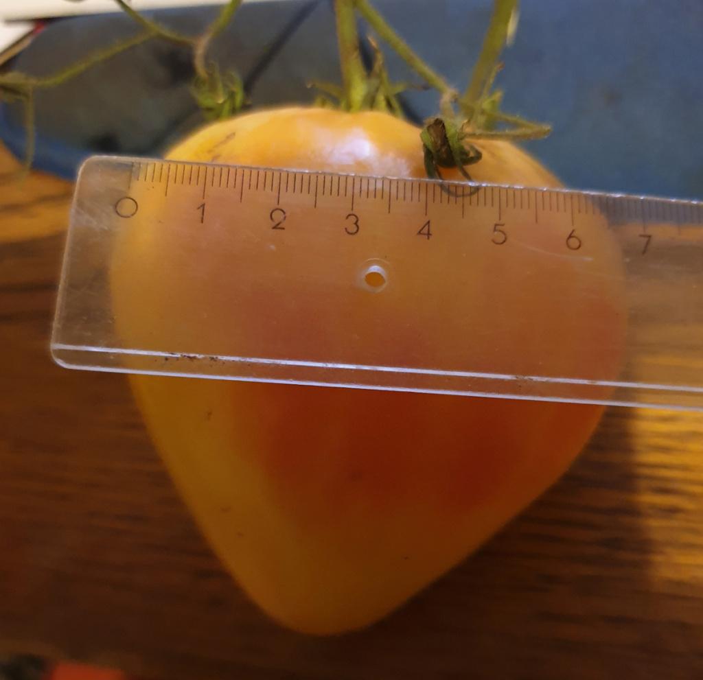 Solanaceae - Tomaten & Chili, aber auch Petunien und andere Schönheiten ;) - Seite 98 20190914