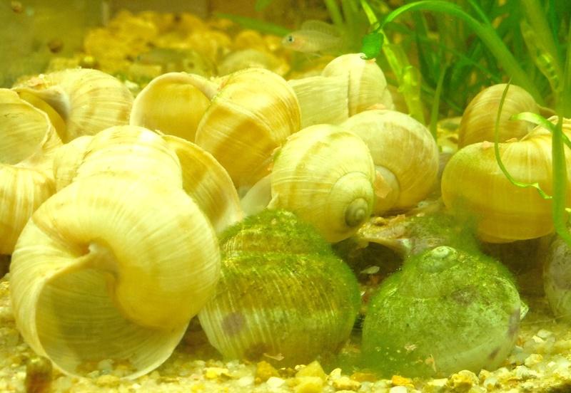 200L spé Néolamprologus similis - Page 5 Image50