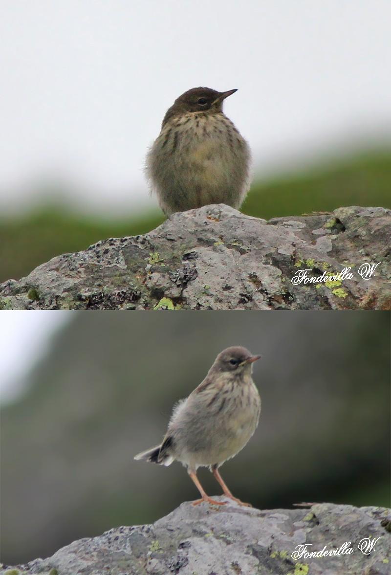 Identification de 2 oiseaux vus en montagne Oiseau10