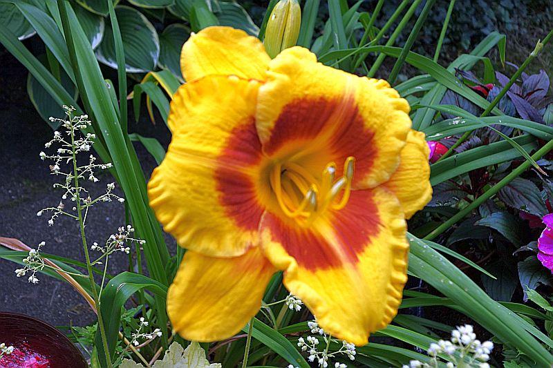Hemerocallis - Taglilien - Schönheiten im Juni und Juli - Seite 6 Dsc04120