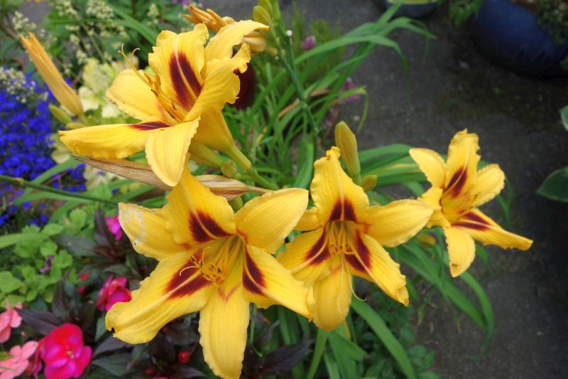 Hemerocallis - Taglilien - Schönheiten im Juni und Juli - Seite 6 Dsc04121