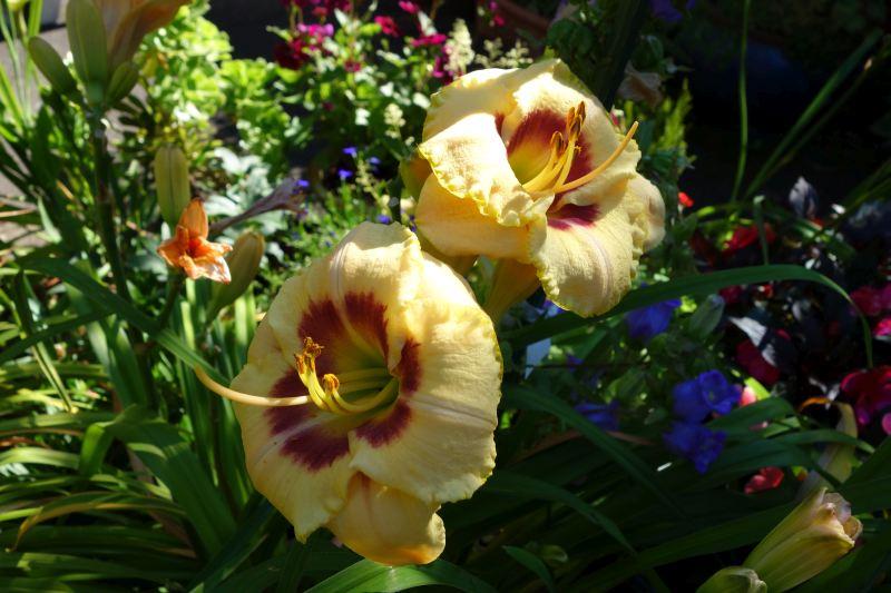 Hemerocallis - Taglilien - Schönheiten im Juni und Juli - Seite 7 Dsc04217