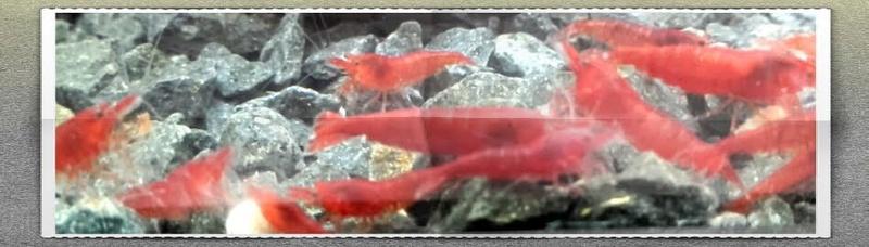 Gozgull Shrimp's - Page 9 Bloody10