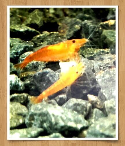 Gozgull Shrimp's - Page 9 Sak_or10