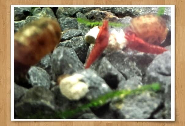 Gozgull Shrimp's - Page 9 Sak_ro10