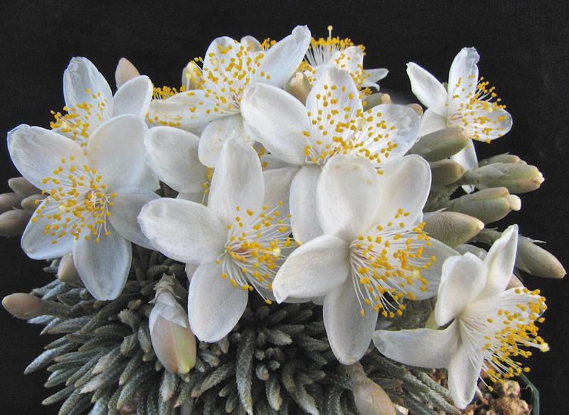 Avonia quinaria ssp. alstonii Img_0410