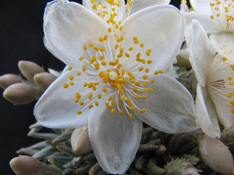 Avonia quinaria ssp. alstonii Img_0411
