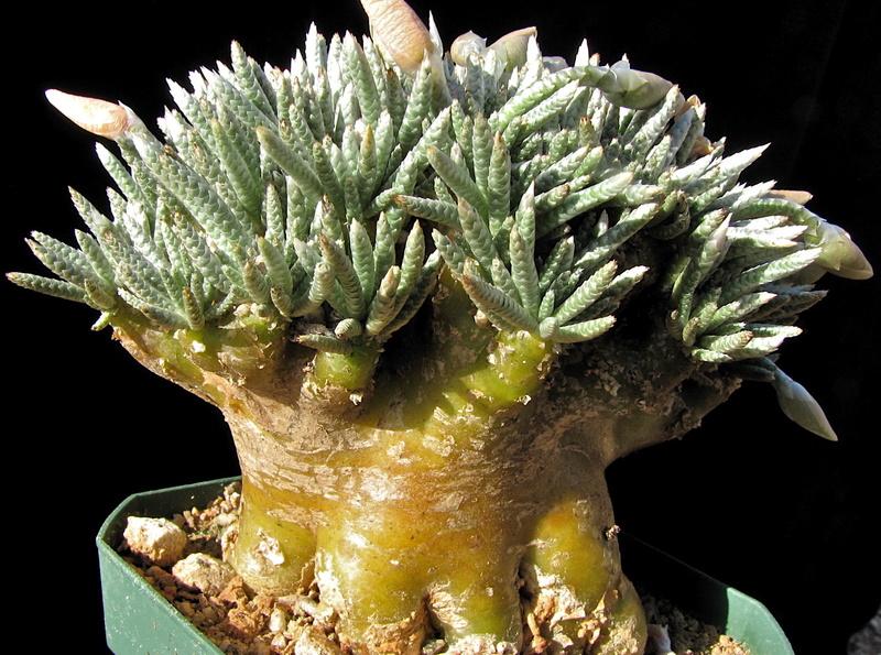 Avonia quinaria ssp. alstonii Img_0412