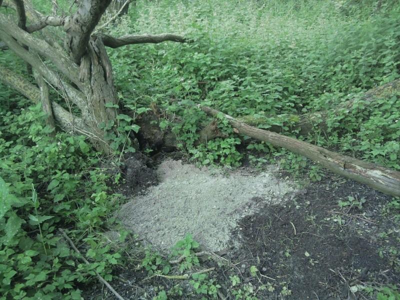 Buse à l'arbre creux.... ou la chronique d'un arbre bien fréquenté ! Sable_10