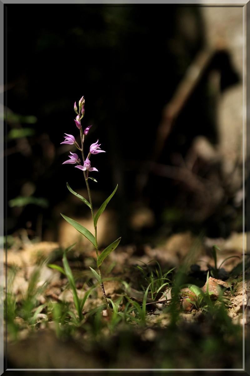 Cephalanthera rubra, Romanswiller (67), Jaegerthal (67) 1b11