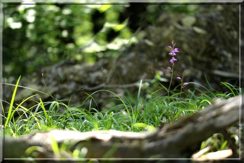 Cephalanthera rubra, Romanswiller (67), Jaegerthal (67) 1c11