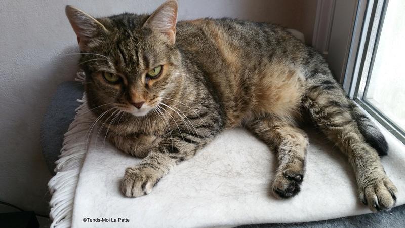 ZINA chatte tigrée de 11 ans 20160712