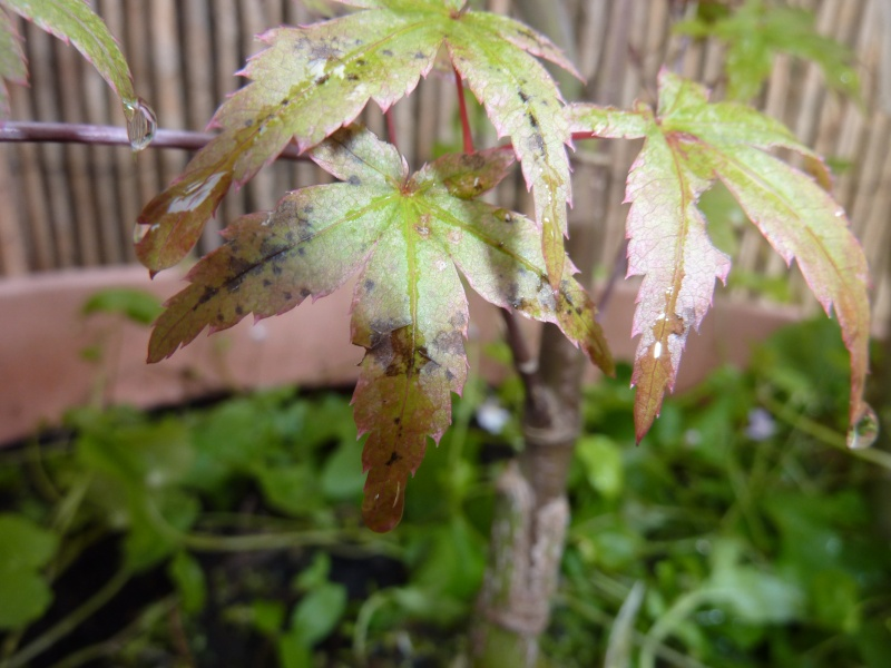 Problems with Japanese Acer leaves? P1120713