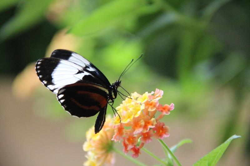Jardin aux papillons Helico10