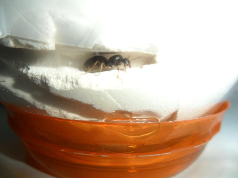 Une reine fourmi Sam_6720