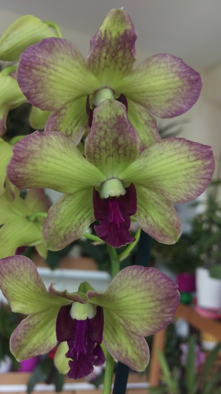 Dendrobium type Phalaenopsis Dendro11