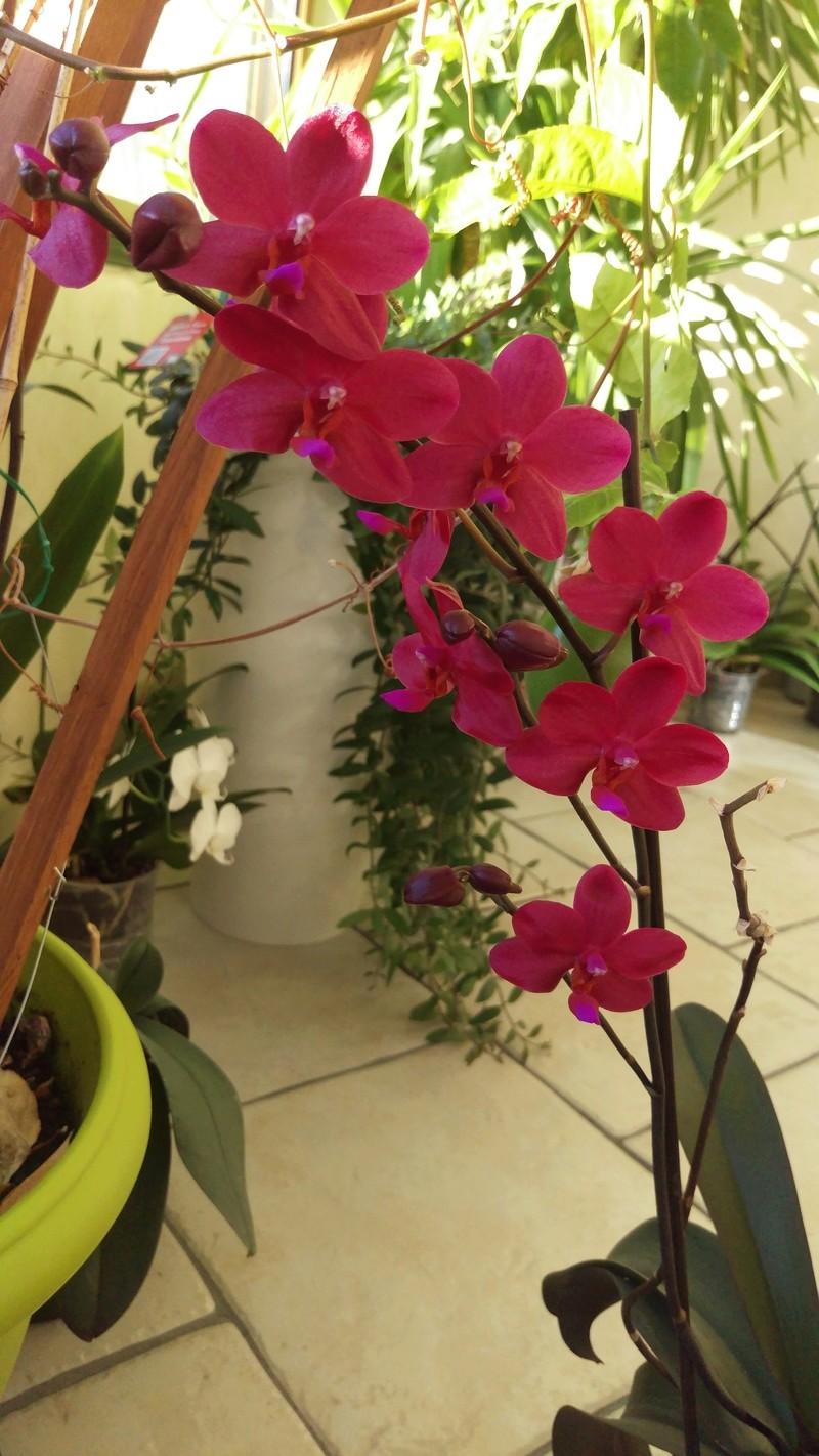 Phalaenopsis Piccolo Red Imag3811