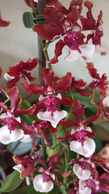 oncidium Sharry Baby ' Sweet fragrance' Oncidi10