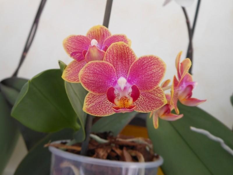 Les orchidées de nounoucaro MAJ 08/05/14 - Page 4 Phal310