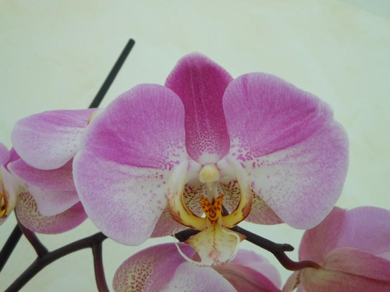 Les orchidées de nounoucaro MAJ 08/05/14 - Page 5 Phal_110