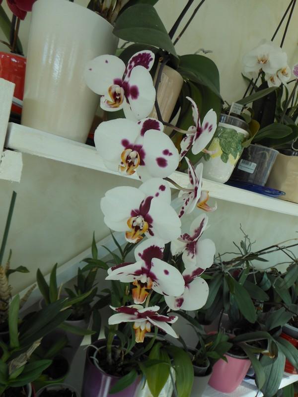 Les orchidées de nounoucaro MAJ 08/05/14 - Page 4 Phal_111