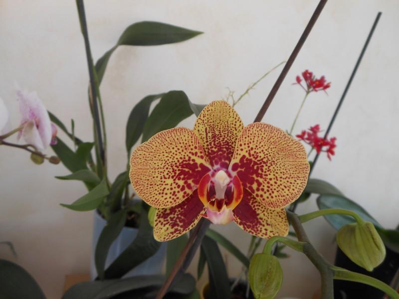 Les orchidées de nounoucaro MAJ 08/05/14 - Page 5 Phal_112