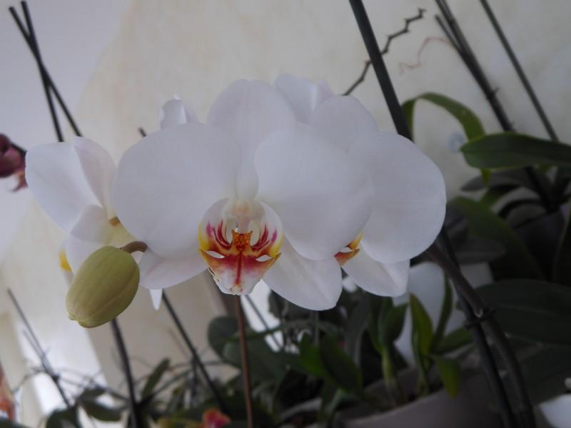 Les orchidées de nounoucaro MAJ 08/05/14 - Page 5 Phal_210