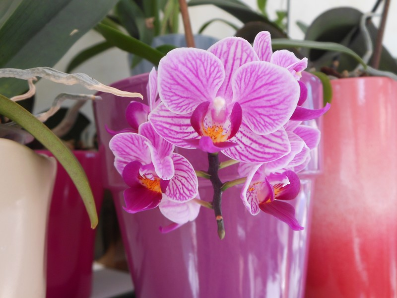 Les orchidées de nounoucaro MAJ 08/05/14 - Page 5 Phal_410