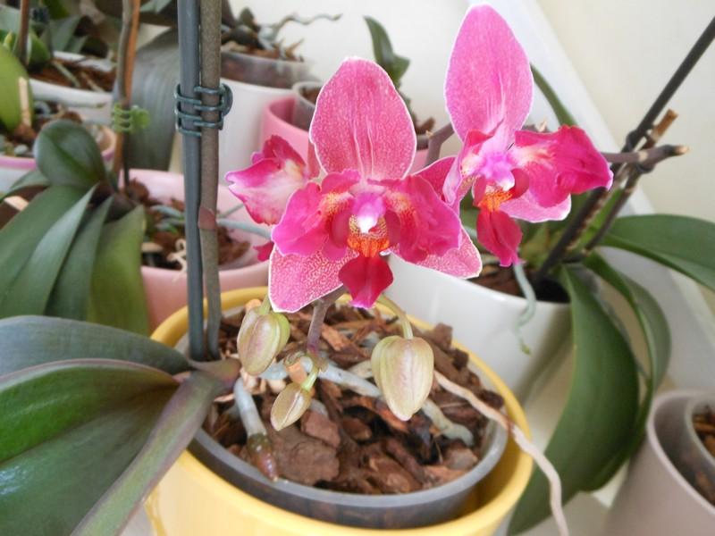 Les orchidées de nounoucaro MAJ 08/05/14 - Page 5 Phal_510