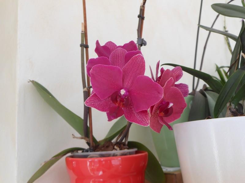 Les orchidées de nounoucaro MAJ 08/05/14 - Page 5 Phal_611